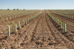 Newly planted vineyards Stock Image