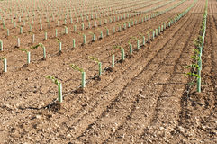 Newly planted vineyards Stock Images