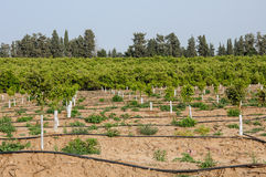 Newly planted young trees Stock Photo
