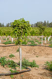 Newly planted young trees Royalty Free Stock Photo