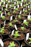 Newly potted nemesia plants in a nursery. With information tags and pricing for retail Stock Photos