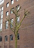 A newly-pruned tree in Bristol, UK. A newly-pruned tree standing outside an office building on the harbourside in Bristol, UK stock photos