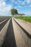 Newly seeded potatoes  in ridges of clay ground Stock Photo