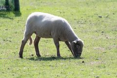 A newly shorn lamb. In a field Stock Image