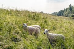 Newly shorn sheep between flowering tall grass. Newly shorn and curiously looking sheep between thriving high grass on the sloping side of a Dutch dike. It is a Stock Photography
