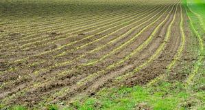 Newly sown corn field. A Newly sown corn field Stock Photos