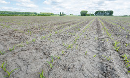 Newly sown corn plants in converging rows Royalty Free Stock Photography