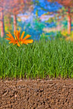 Newly sown grass seed showing roots in the soil Royalty Free Stock Photo