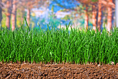 Newly sown grass seed showing roots in the soil Stock Photo