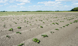 Newly sown potato plantlets in long converging lines Stock Photo