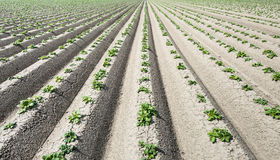 Newly sown potato plantlets in long converging lines Stock Photography