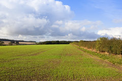 Newly sown wheat field Stock Images