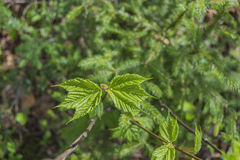 Newly Sprouted Striped Maple Leaves Stock Photography