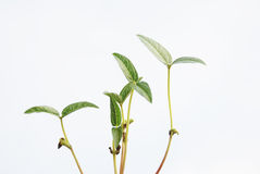 The newly sprouting seedling Royalty Free Stock Image