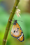 Newly transformed butterfly. Newly transformed Danaus chrysippus butterfly royalty free stock photos