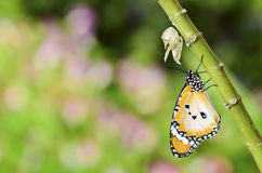 Newly transformed butterfly. Newly transformed Danaus chrysippus butterfly with romantic background stock photos