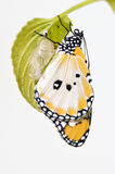 Newly transformed butterfly Royalty Free Stock Image