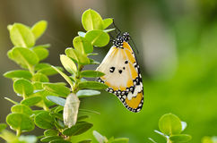 Newly transformed butterfly Stock Image
