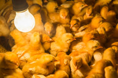 Newly yellow hatched chicks on a chicken farm Royalty Free Stock Photo