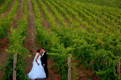 Newlyweds kissing in a vineyard stock photos