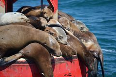 Newport Beach lazy seals. A pile of seals sunning themselves on a buoy near Newport Harbor, Newport Beach, California stock images