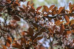 Newport Plum tree blooming in the park. Small pink flowers and bronze leaves on a branch in the spring. Blue sky and trees in the background. Rochester, New York royalty free stock image