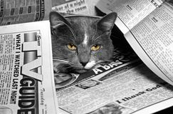 In the news. Cat laying in the middle of news paper Royalty Free Stock Image