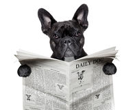 Newspaper bulldog Royalty Free Stock Photos