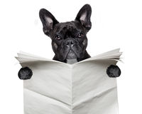 Newspaper bulldog Royalty Free Stock Photo