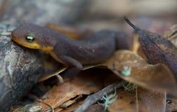 Newt Áspero-pelado (granulosa del Taricha) Fotos de archivo