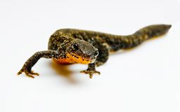 Newt Royalty Free Stock Images