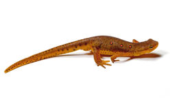 Newt Stock Images