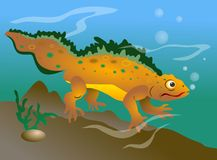 Newt. Swimming in a pond illustration Stock Images