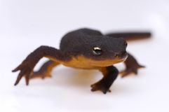 Newt against white. A close-up of a small newt walking on a white background stock photos