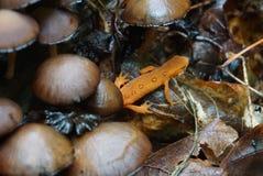 Newt alaranjado com cogumelos Imagem de Stock Royalty Free