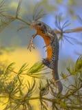 Newt alpino fêmea da colocação de ovo Fotografia de Stock
