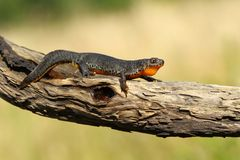 Newt on branch Stock Photos