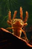 Newt com crista da larva imagem de stock
