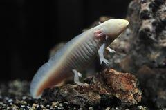 Newt del Salamander, anfibi Fotografia Stock Libera da Diritti