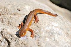 Newt di California su una roccia Fotografia Stock Libera da Diritti