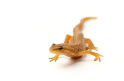 Newt isolated on white Stock Photography