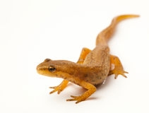 Newt isolated on white Royalty Free Stock Photo