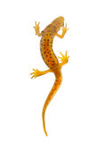 Newt isolated on white Royalty Free Stock Photos