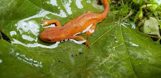 Newt on a leaf stock photo