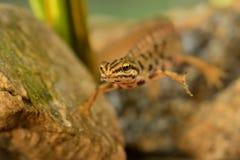 Newt lisse photo libre de droits