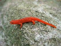 Newt manchado rojo Imagen de archivo libre de regalías