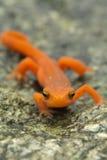 Newt manchado vermelho Fotografia de Stock