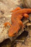 Newt manchado vermelho Imagens de Stock Royalty Free