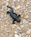 Newt. We met newt near Kehlsteinhaus royalty free stock image
