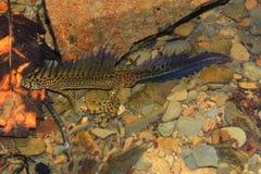 Newt (Ommatotriton-vittatus) stockfoto